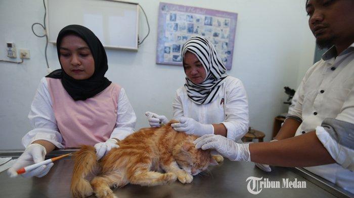 Seekor kucing disuntik anti rabies di UPT.Rumah Sakit Hewan Dinas Ketahanan Pangan dan Peternakan Pemrov Sumut, Medan, Rabu (27/3/2019).TRIBUN MEDAN/RISKI CAHYADI