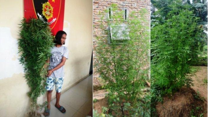 Suheri Nekat Tanam Pohon Ganja di Belakang Rumah, Paling Tinggi 1,7 Meter