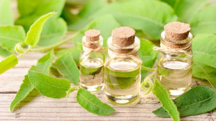 FAKTA BARU: Uji Klinis Minyak Kayu Putih ( Eucalyptus ) Terbukti Redakan Gejala Ringan Covid-19