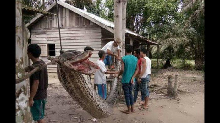 Ular Piton Raksasa 7 Meter Serang Sekuriti Perkebunan Sawit, Gini Akhir Pertarungan Keduanya