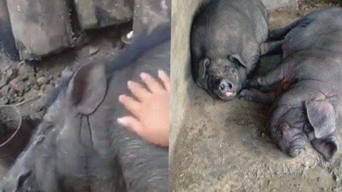 Ini yang Dilakukan Pemkab Sergai Setelah Banyaknya Babi Mati