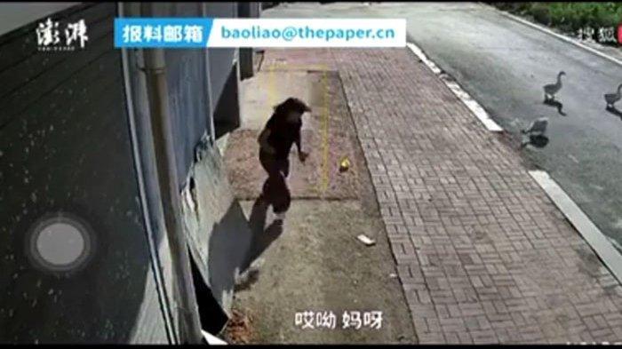 Bermusuhan dengan angsa, wanita ini terus dikejar angsa jantan selama setengah tahun karena hal ini. (tangkapan layar video)