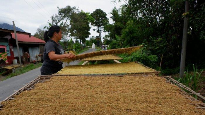 Batukarang Karo, Desa Penghasil Tembakau, Salah Satu Bahan untuk Menyuntil