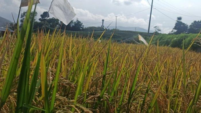 Luas Tanam Padi Sumut Ditargetkan Meningkat Jadi 839.312 Hektare, Madina Paling Luas