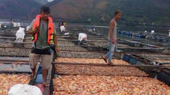 warga-sibuk-mengangkut-ikan-ikannynya-yang-mati-di-perairan-danau-toba_20180822_202516.jpg