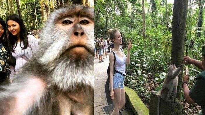 Foto Kera 'Selfie' di Bali Jadi Viral, Ramai Wisatawan Berbondong-bondong ke Monkey Forest Ubud