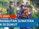 9-orangutan-sumatera-tiba-di-sumut-pada-hari-orangutan-internasional.jpg