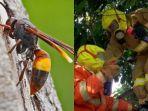 bahaya-serangga-tawon-vespa-affinis-sudah-9-orang-meninggal-disengatpemkab-klaten-musnahkan-sarang.jpg