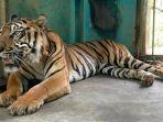 baringin-harimau-sumatera-yang-sempat-viral-karena-kurus-dan-makan-rumput.jpg