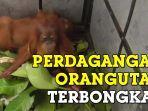bbtngl-berhasil-mengungkap-perdagangan-orangutan.jpg