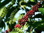 biji-kopi-pohon-kopi-petani.jpg