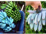 blue-java-banana_20181106_072839.jpg