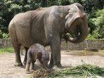 boni-gajah-sumatera.jpg