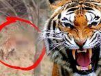 detik-detik-kronologi-harimau-terkam-warga-tubuh-korban-dicabik-cabik-ngeri-nih-kesaksian-teman.jpg
