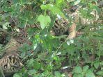 dua-ekor-bayi-harimau-sumatera-panthera-tigris-sumatrae-lahir.jpg