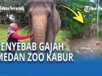 gajah-medan-zoo-bernama-siti-sempat-kabur.jpg