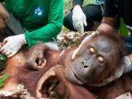 habitat-orangutan-di-lahan-gambut-juga-turut-terbakar.jpg