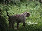 harimau-putih-terancam-kelaparan-2.jpg