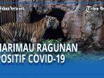 harimau-ragunan-positif-covid-19.jpg