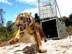harimau-sumatera-bernama-suro.jpg