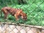 harimau-sumatera-kurus-kering.jpg
