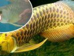 ikan-arwana-emas-atau-scleropages-formosus_20170822_112458.jpg