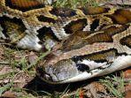 ilustrasi-ular-piton.jpg