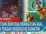kedua-orangutan-sumatra-masing-masing-asto-jantan-dan-asih-betina.jpg