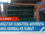 korban-perdagangan-satwa-di-malaysia-orangutan-sumatera-akhirnya-pulang-kampung-ke-sumut-qq.jpg