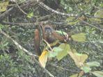 orangutan-di-danau-lau-kawar-karo.jpg