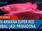 penjualan-ikan-arwana-super-red-mengalami-peningkatan.jpg
