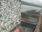 petani-ikan-mengeluarkan-bangkai-ikan-yang-mati-mendadak-di-siogung-ogung-samosir.jpg