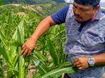 petani-jagung-di-kecamatan-tanah-pinem-kabupaten-dairi.jpg