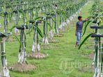 petani-merawat-tanaman-buah-naga-hylocereus-undatus.jpg