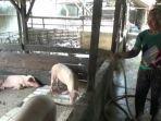 peternak-babi-di-daerah-kampung-selambo-toba-kecamatan-marindal.jpg