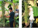 pisang-seribu-sisir_20160210_125728.jpg