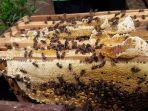 sarang-madu-dari-lebah-yang-dikelola-hasanuddin.jpg