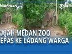 satwa-gajah-diduga-milik-medan-zoo-berkeliaran-di-perladangan-warga.jpg