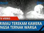 seekor-harimau-sumatera-terekam-kamera-trip-bbksda-sumut.jpg