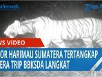 seekor-harimau-sumatera-tertangkap-kamera-trip-bbksda-di-kabupaten-langkat-qq.jpg