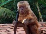 seekor-monyet-merampok-rumah-dan-memegang-pisau.jpg