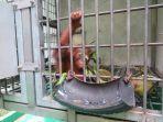 sepasang-orangutan-diberi-nama-marelan-dan-marleni.jpg