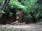 singa-di-kebun-binatang-india-positif-covid-19-1.jpg