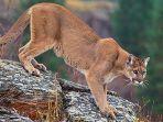 singa-gunung-cougar.jpg