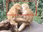 terekam-kamera-monyet-nakal-sedang-ciuman-seperti-manusia-karena-malu-monyet-berkelahi.jpg