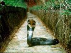 ular-kobra-pesta-makan-nasi.jpg
