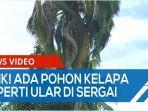 unik-batang-pohon-kelapa-seperti-ular-di-desa-naga-kesiangan-serdangbedagai-qq.jpg