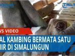 viral-kambing-bermata-satu-lahir-di-di-desa-nagari-purwosari-kabupaten-simalungun-qq.jpg