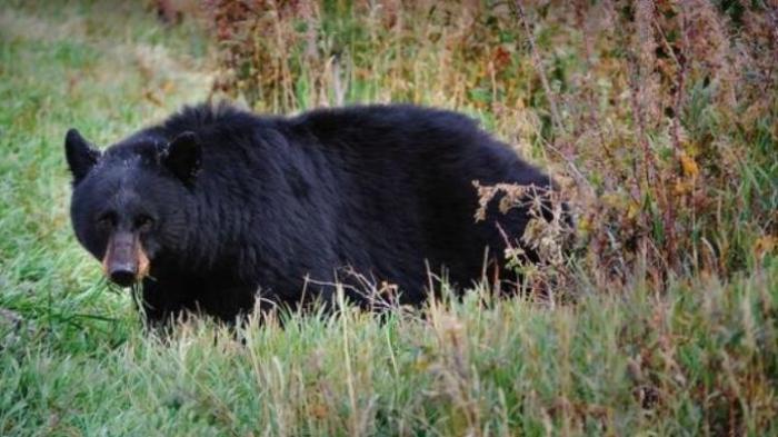 Enam Beruang Nekat Masuk Kampung di Bajuin Tanahlaut, Warga Ketakutan