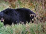 beruang-hitam.jpg